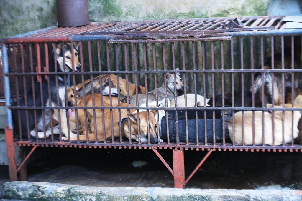 dog meat in vietnam cages