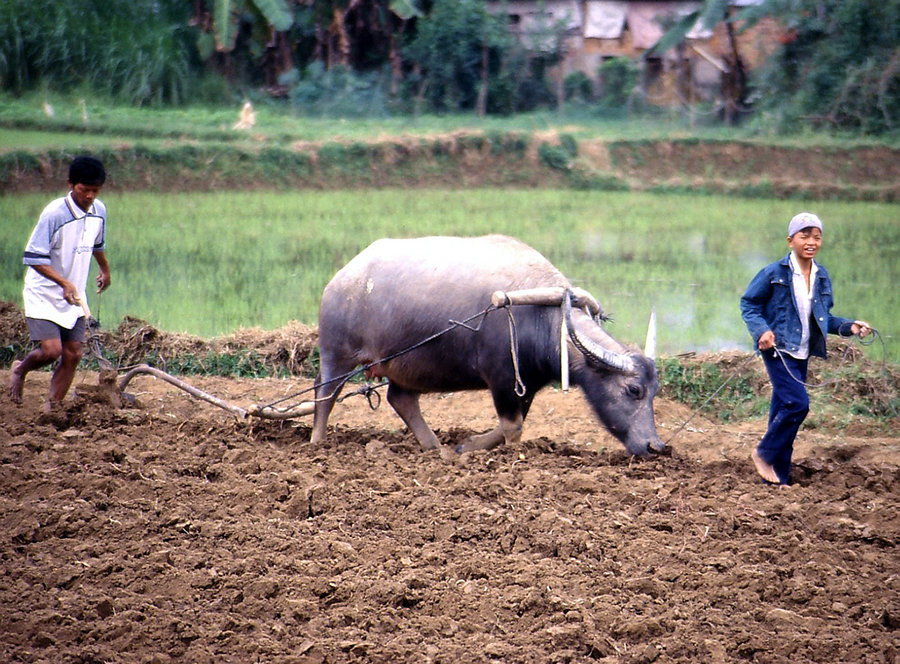 buffalo in vietnam agriculture